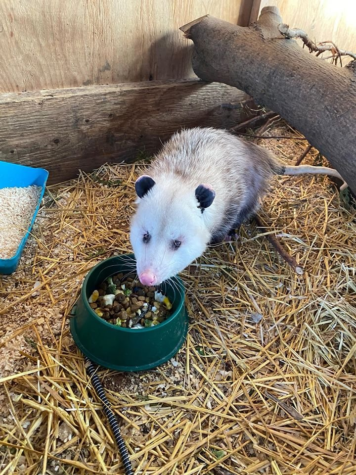 Opossum Wintering Over At Procyon