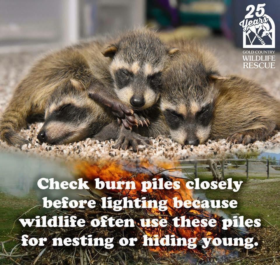 Raccoons Burn Piles