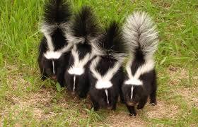 Skunks 2