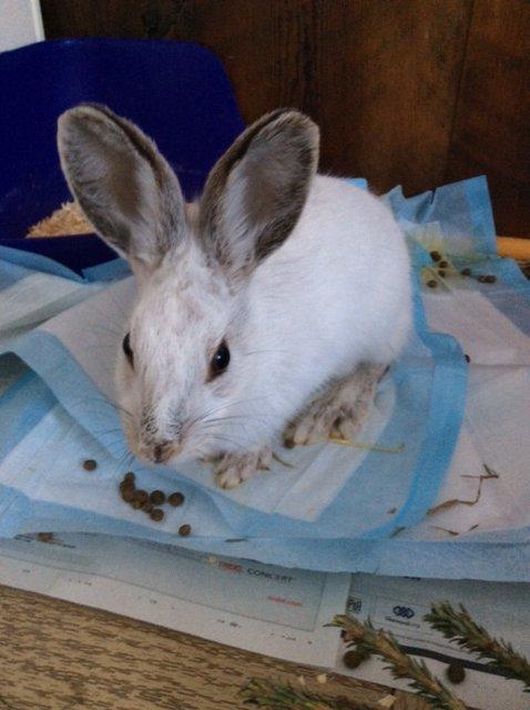 Snowshoe Hare (1)
