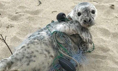 Grey seal tangled in fishing net on Nantucket Island off the coast of Massachusetts by Scott Leonard