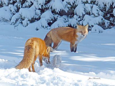 13 -Fox By Jennifer Howard