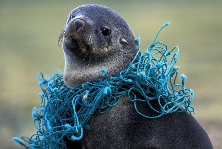 Seal With fishing net wrapped around neck by Paul Souders.