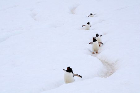 Gentoo Penguins in a penguin highway in Antarctica. The traffic and the human-like behaviour in these highways is really amusing.