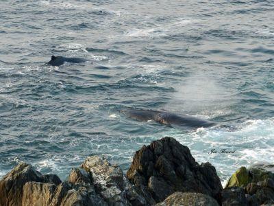 Humpback Whales Nfld By Jennifer Howard