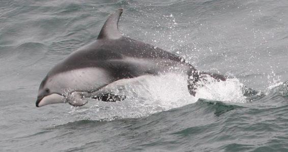 Pacific White-sided Dolphin By Thomas Fisher Copy