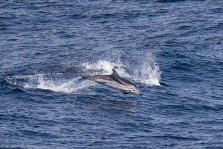 Striped-dolphin By Glenn Overington
