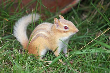 Albino Chipmunk By Jennifer Howard