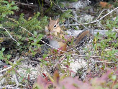 Chipmunk In Forest By Jennifer Howard