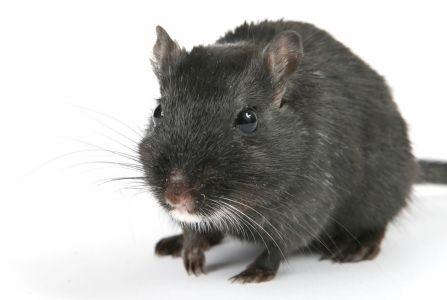 Cute black male rat