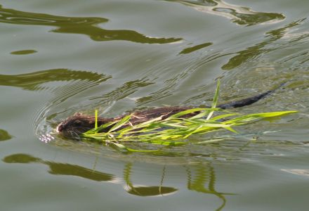 Muskrat swimming with a willow branch by James Dowling-Healey