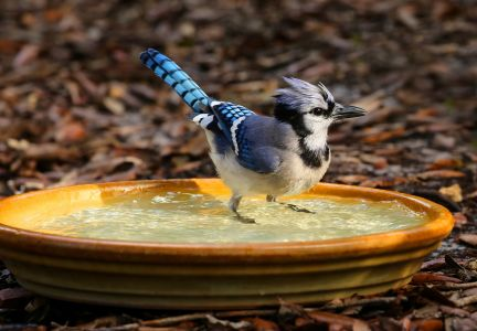 Blue jay standing and shaking off after a bath