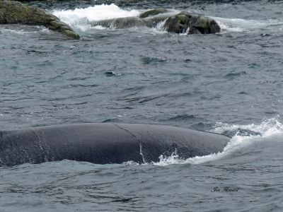 Humpback Whale Nfld By Jennifer Howard