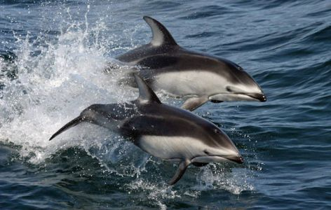 Pacific White-sided Dolphins By NMFS Southwest Fisheries Science Center