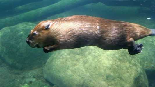 Beaver swimming underwater