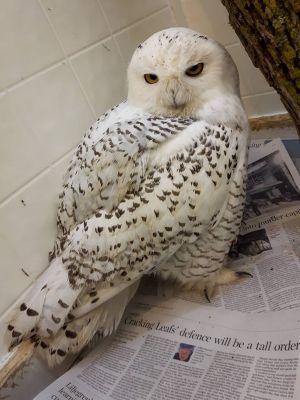 2 Snowy Owl By Debra Spilar