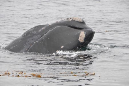 Right Whale Off Channel Islands California By Mark Hoffman