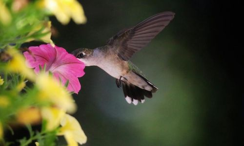 Ruby Throated hummingbird by Mark Moschell