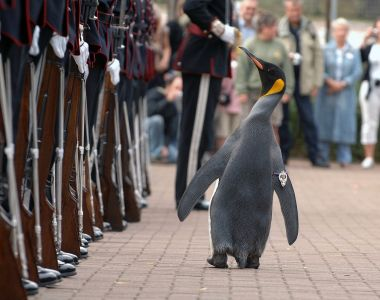 Sir Nils Olav inspects Kings Guard Of Norway, following Knighthood Ceremony Military Insignia Is attached to his Right Flipper by Mark Owens