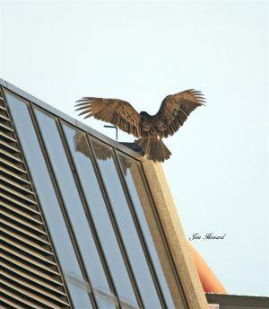 Turkey vulture landing on Coke building