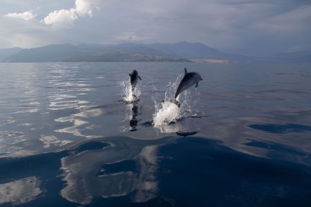 Two Striped Dolphins Jumping By OceanCare