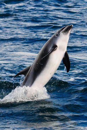 White-beaked Dolphin Porpoising