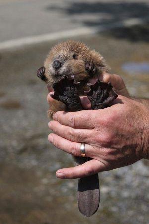 Baby beaver in hands