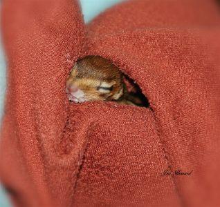 Baby chipmunk In blanket by Jennifer Howard