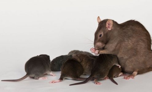 Baby rats with their mother
