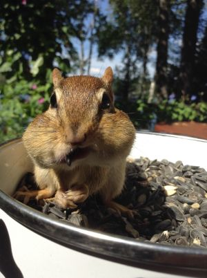 Chipmunk Eating Sunflowers By Elizabeth Trickey
