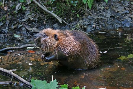 North American Beaver by Jennifer Howard