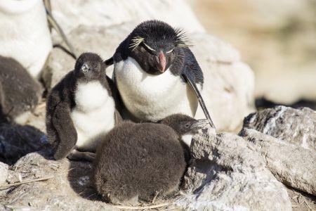 Rockhopper Penguin With Chicks, New Island, Falkland By Andrew Shiva