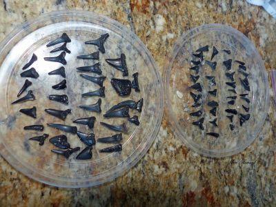 Sharks Teeth South Carolina By Jennifer Howard