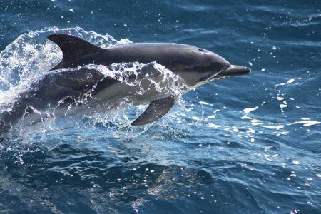 Short-Beaked Dolphin By Anna Bunney