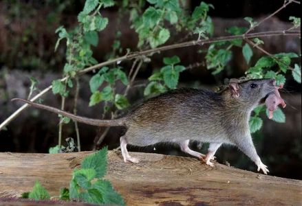 Black Rat Mother Carrying Baby