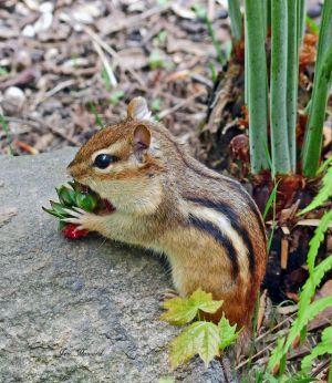 Chipmunk eating a strawberry by Jennifer Howard