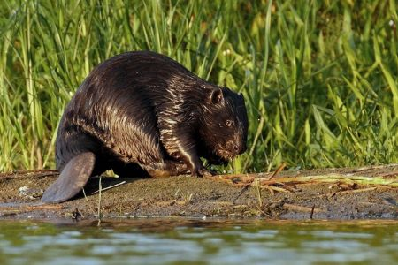 Eurasian Beaver next to dam In Poland (Castro Fiber ) by Klaudiusz Muchowski Copy