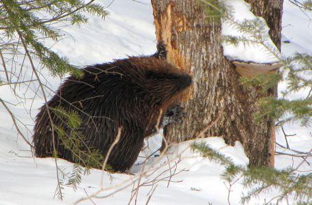 Feeding In winter in Gatineau Park Quebec by D. Gordon E. Robertson