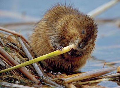 Muskrat Chewing On A Plant Stem by John Cancalosi