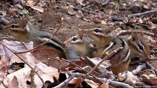 Young chipmunks emerge from nest