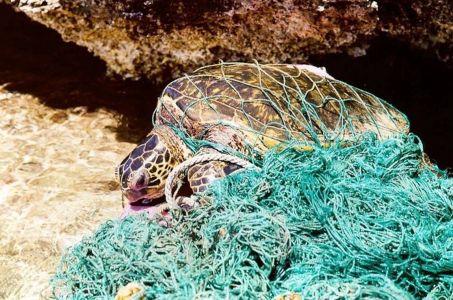 Green Turtle entangled underwater In debris causing s/he to drown.