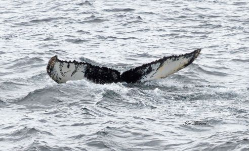 Humpback whale's tail with Orca whale mouth/teeth marks by Jennifer Howard