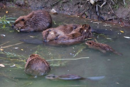 Beaver family with centre pair grooming one another