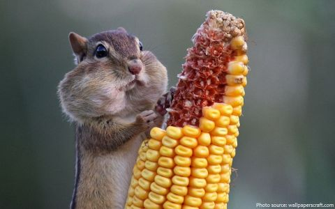 Chipmunk Eating Corn By Wallpapercraft