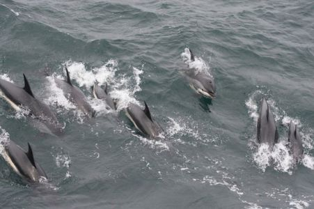 School Of Atlantic-white-sided Dolphin By Sue Rocca