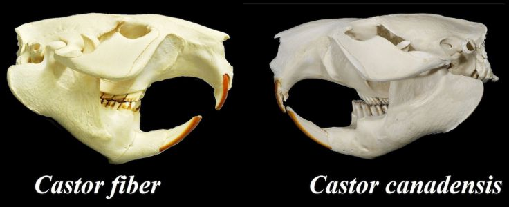 Skulls of a European and Canadian beaver