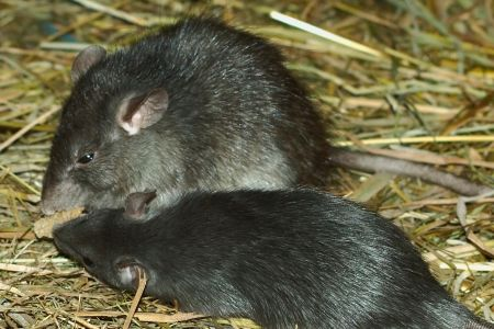 Two Black Rats By Kilessan
