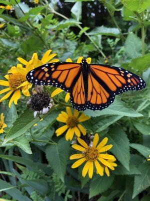 Monarch butterfly by Angela Van Breeman