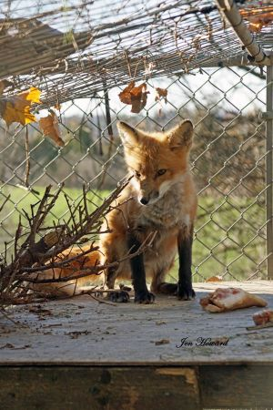 Meadow the Fox Goes Free - 3