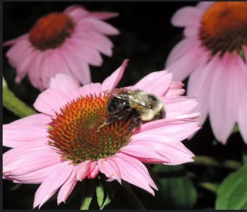 Sleeping Bee on a Cone Flower by Kathy Shumacl